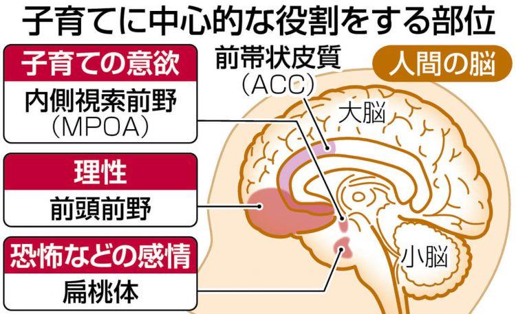 図解 子育てに中心的な役割をする脳の部位